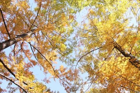 天高くメタセコイアの黄葉