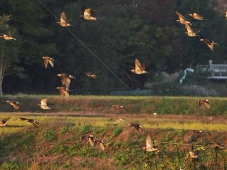 夕陽で輝く雀達