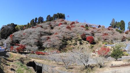 豊田市小原地区:川見四季桜の里