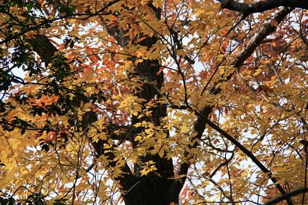海上の森の黄葉