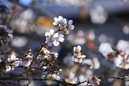 輝く四季桜2