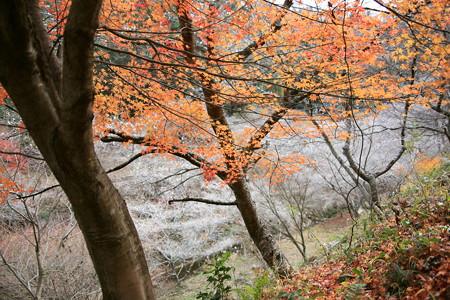 川沿いの紅葉と四季桜