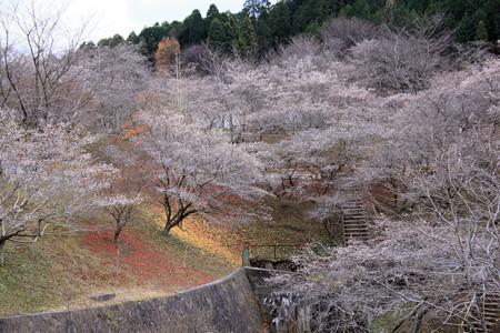 小原ふれあい公園の四季桜