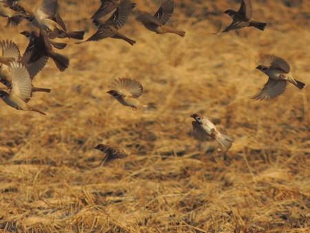 雀の一斉飛び立ち