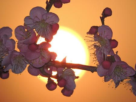 夕陽と紅梅