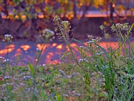 夕陽と歩道脇のナズナ