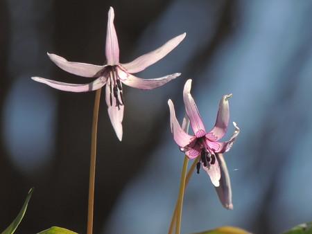 片栗の花4