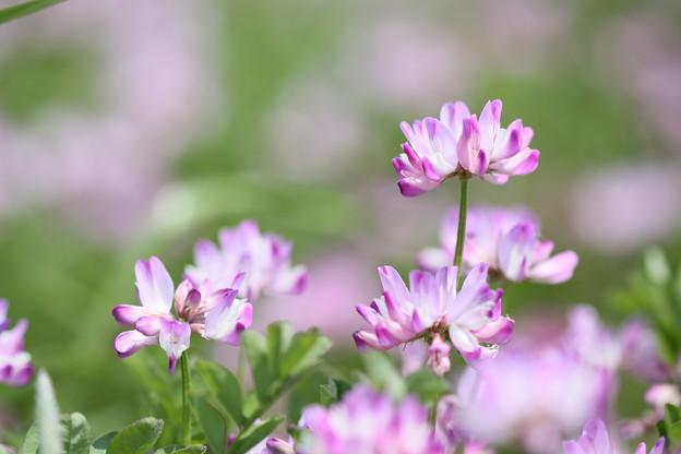 蓮華草は春の色♪~♪