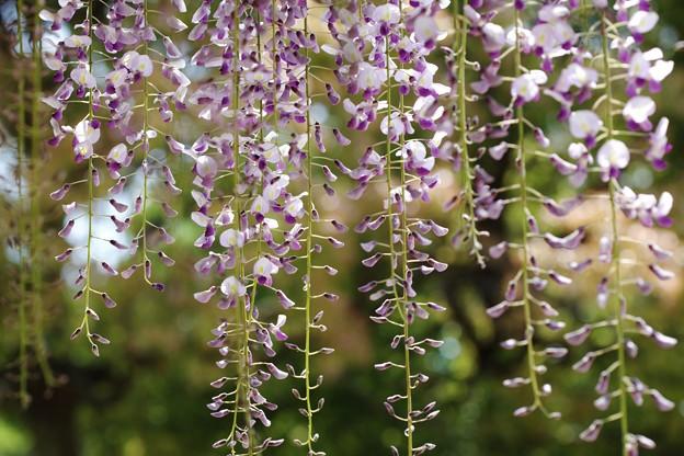 藤の花暖簾