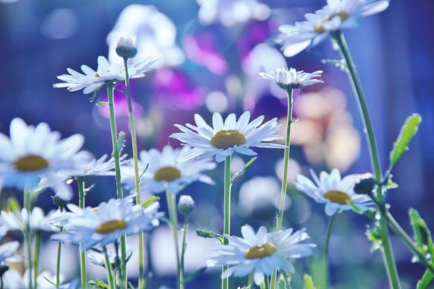 清々しい雛菊の花