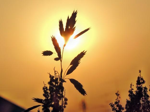 雑草と朝日