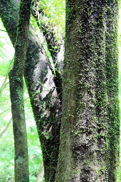 王滝渓谷:蔓の緑