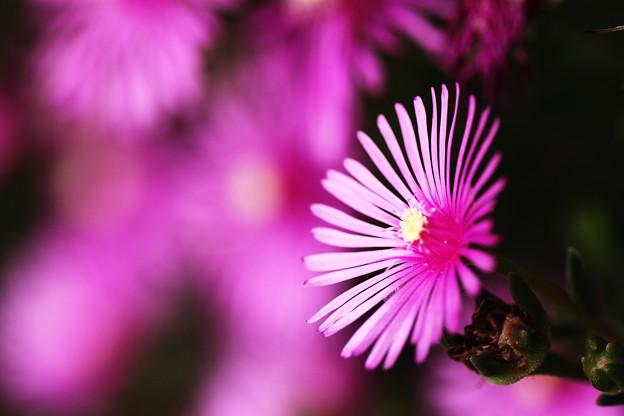 松葉菊の輝き~~