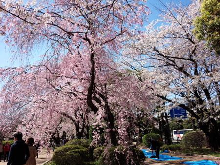 千鳥ヶ淵公園しだれ桜