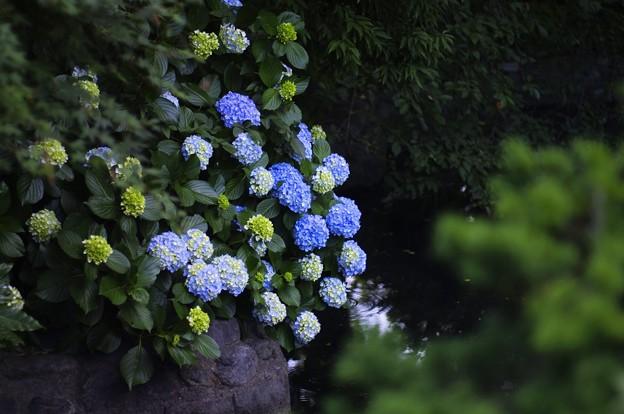 紫陽花の雫~波紋