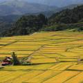 黄金色の椹平棚田