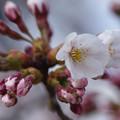 桜の開花宣言・仙台