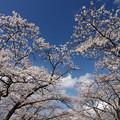 Photos: 桜前線北上中