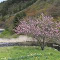 写真: 山間の里桜