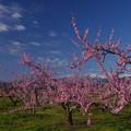 写真: 桃畑美しい福島