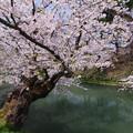 写真: 弘前城址の外堀桜