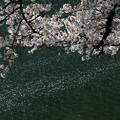 写真: 桜散る鶴ヶ城