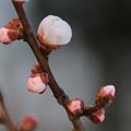 開花待つ梅