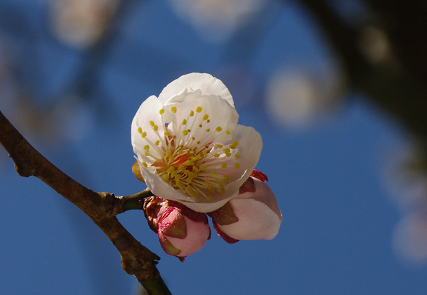 写真: 桜の開花宣言