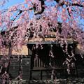 写真: 桜咲く城下町
