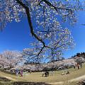 写真: 桜咲く公園