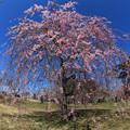 写真: 枝垂れ桜の美しさ