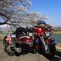 写真: 桜めぐり
