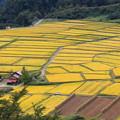 写真: 黄金色の椹平棚田