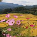 写真: コスモス咲く故郷