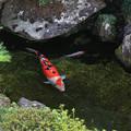 写真: 鯉に恋して