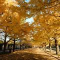 銀杏並木の美しさ