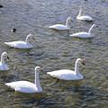 写真: 白鳥寛ぐ広瀬川