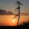 写真: 朝陽と松と