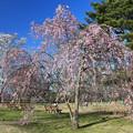 写真: 桜美を味わう