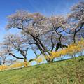 写真: 桜咲く丘