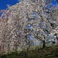 写真: 咲き誇る桜