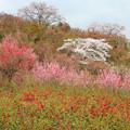写真: 花見山の美観