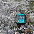 写真: 桜美をくぐりぬけ