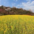 写真: 菜の花咲く丘
