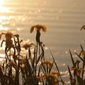 写真: 水辺を彩る花菖蒲