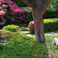 写真: 咲き誇る皐月の庭
