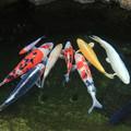 写真: 寄り添う錦鯉
