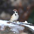 写真: 小雪舞う庭の雀