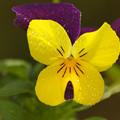 写真: 冬庭の女王花