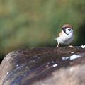 写真: 雀の訪問